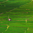 Stock Photo: Rice fields structured in terracces