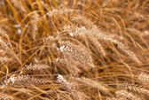 Frozen pampa grass in wintertime — Stock Photo