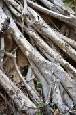 Roots of an old tree coveres a wall at temple area — Stock Photo
