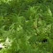 Beautiful fern in dense forest — Stock Photo