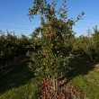 Ripe apples on a tree branch with blue sky - Stock Photo
