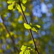 Stock Photo: Leaves in morning light