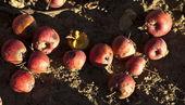 красный непредвиденной яблоки — Стоковое фото