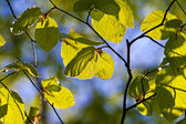 Leaves of tree in detail — Stock Photo