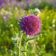 Stock Photo: Thistle in meadow in morning light