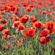 Stock Photo: Colorful red poppy flowers in the meadow