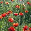 Colorful red poppy flowers in the meadow — Foto de Stock