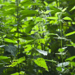 Stinging nettle in detail — Stock Photo