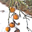Frozen apples in wintertime at the tree — Stock Photo