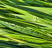 Green wheat grass with dewdrops in the morning — Stock Photo