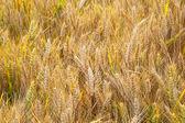 Campo di grano con spica in dettaglio — Foto Stock