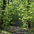 Trail thru narrow trees in forest — Stock Photo #5702256