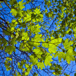 Leaves of a tree in intensive light - Stock Photo