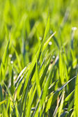 Ot ve buğday çiy sabah ışık ile yaprakları — Stok fotoğraf