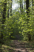 Trail thru narrow trees in forest — Stock Photo