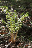 Fern in forest in detail — Stock Photo