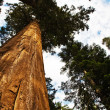 Sequoia national Park with old huge Sequoia trees like redwoods — Stock Photo #5778392