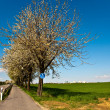 Stock Photo: Bicycle lane under blooming tree in spring