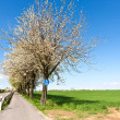 Royalty-Free Stock Photo: Bicycle lane under blooming tree in spring