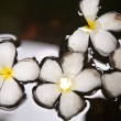 Stock Photo: Plumeriblossom (Frangipani) is swimming in water
