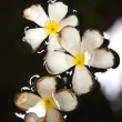 Plumeria blossom (Frangipani) is swimming in the water - Stock Photo