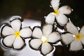 Plumeria blossom (Frangipani) is swimming in the water — Foto de Stock