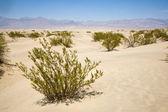 Erbaccia alle dune di mesquite di stovepipe wells death valley california — Foto Stock