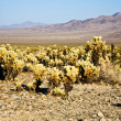 Beautiful Cholla Cactus Garden in Joshua Treer national park in — Stock Photo