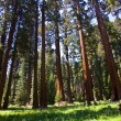 Famous big sequoia trees are standing in Sequoia National Park - Foto de Stock
