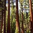 Famous big sequoia trees are standing in Sequoia National Park - Stok fotoğraf