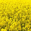 Beautiful rape fields in spring — Stock Photo