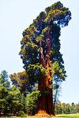 Famosi grandi sequoie sono in piedi nel parco nazionale di sequoia — Foto Stock