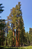 Famous big sequoia trees are standing in Sequoia National Park — Stock Photo