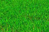 Cultivo de maíz en el campo en primavera verde — Foto de Stock