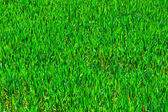 Green growing corn in field in springtime — Stock Photo