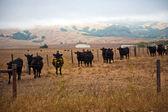サン近くの牧草地で牛シメオン、カリフォルニア州 — ストック写真