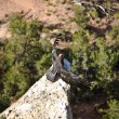 Vulture in the Great Canyon near Maricopa Point with homing devi - Stock Photo