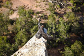 Vulture in the Great Canyon near Maricopa Point with homing devi — Foto Stock