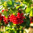 Fresh red tasteful berry hanging on bush ready for picking — Stock Photo #5845941