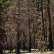 Dead trees due to a former forest fire in Yosemite Park - Stock Photo