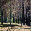 Dead trees due to a former forest fire in Yosemite Park — Stock Photo #5863212