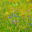 Meadow with colorful wild flowers — Stockfoto