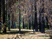 Dead trees due to a former forest fire in Yosemite Park — Stock Photo