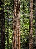 Trees in detail in the romantic valley of yosemite national park — Stock Photo
