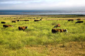 Cows graze fresh grass on a meadow in Andrew Molina State park at the pacif — Stock Photo
