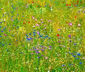 Weiland met kleurrijke wilde bloemen — Stockfoto