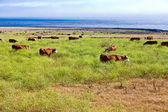 Cows graze fresh grass on a meadow in Andrew Molina State park — Stock Photo