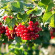 Fresh red tasteful berry hanging on the bush ready for picking — Stock Photo