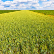 Corn field with blue sky — Stock Photo