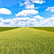 Stock Photo: Corn field with blue sky